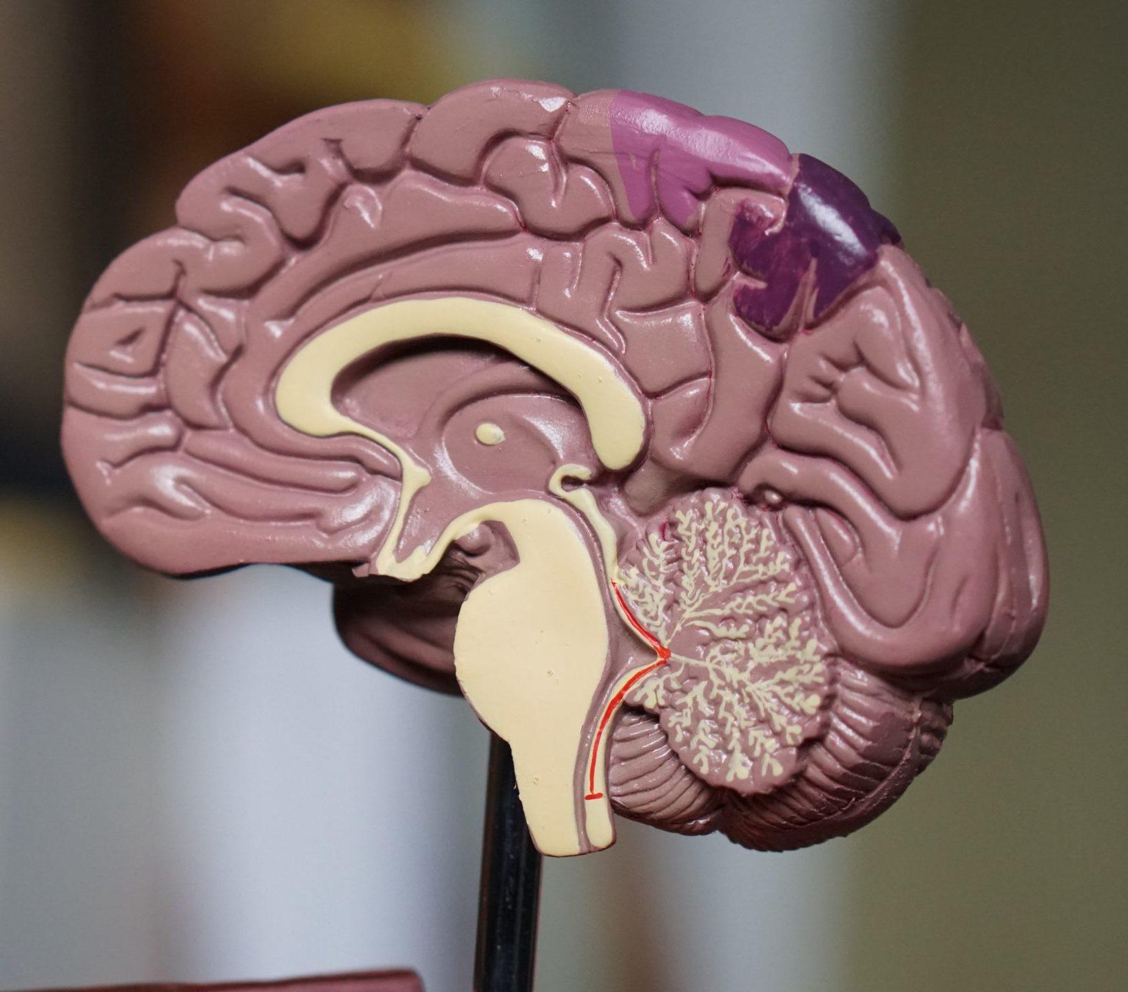darmen zijn je tweede brein