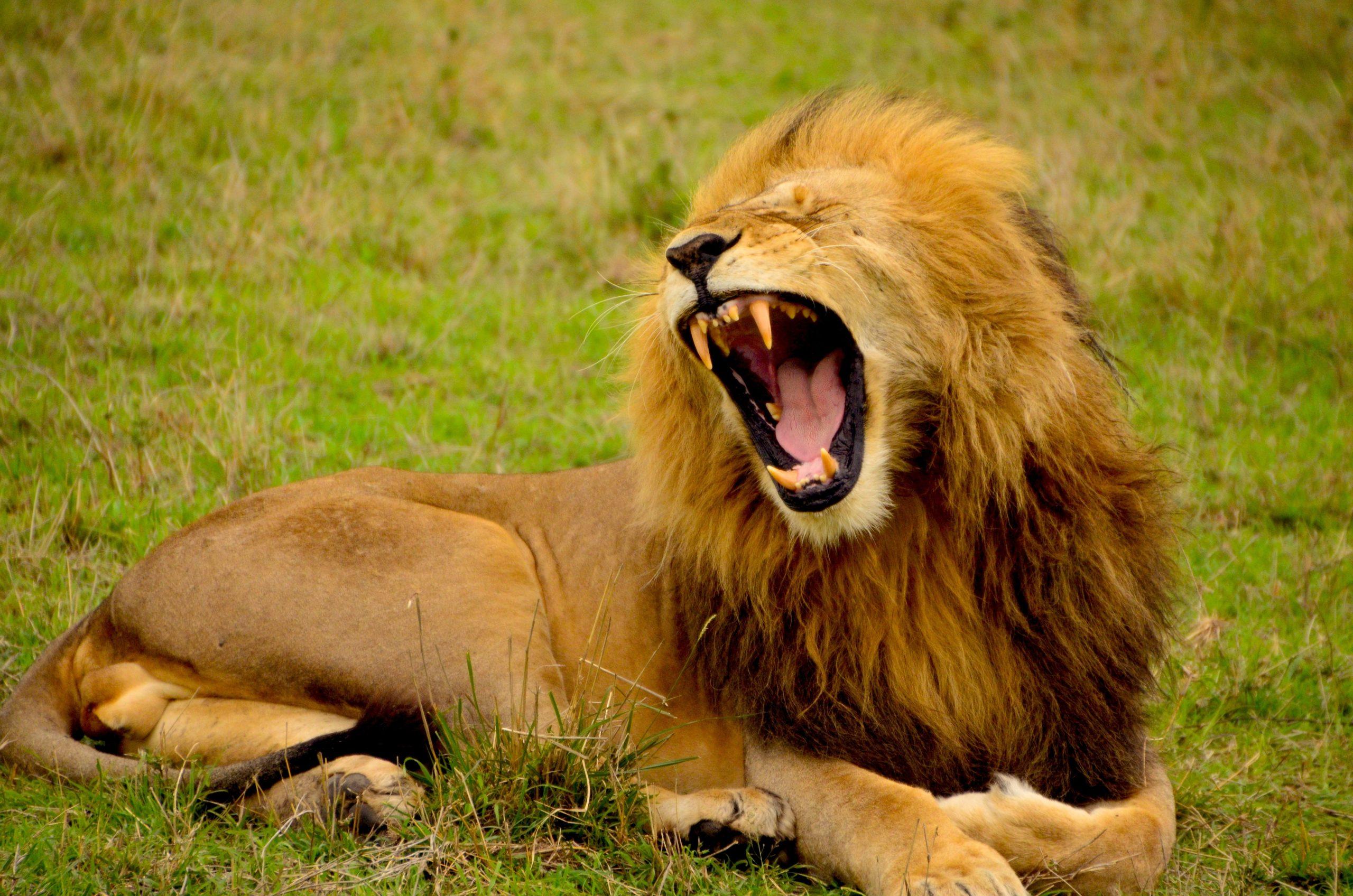leeuw zorgt voor stress
